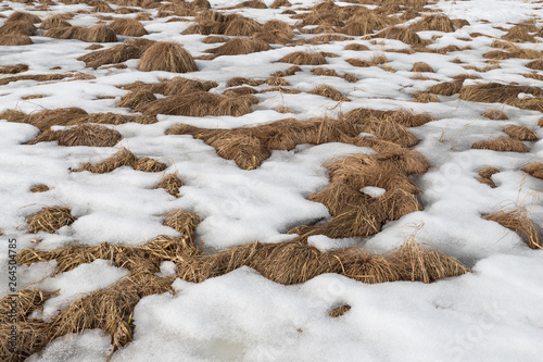 Fototapeta Background of tussock grass in snow