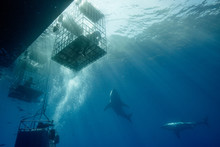 Cage Diving With Great White S...