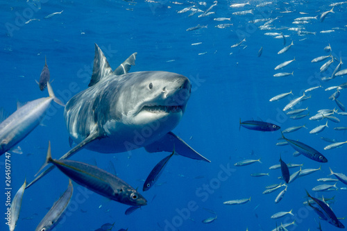 Pinturas sobre lienzo  Cage Diving with Great White Shark in Isla Guadalupe, Mexico