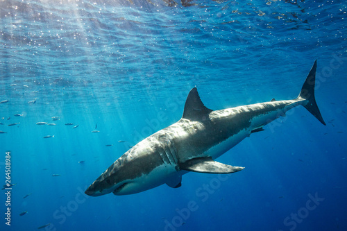 Fotografie, Tablou  Cage Diving with Great White Shark in Isla Guadalupe, Mexico