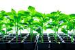 Leinwanddruck Bild - Seedlings of pepper plant vegetable
