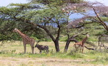 Giraffes And Antelopes Are Standing Together Under A Tree