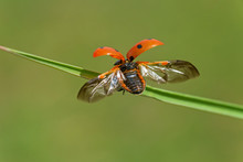 Close Up Of Ladybug Ready To Take Off From Blade Of Grass