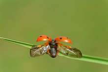Close Up Of Ladybug With Opened Wings On Blade Of Grass