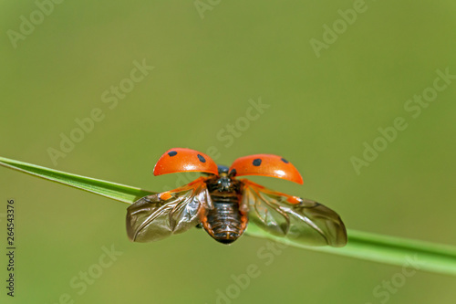 close up of ladybug with opened wings on blade of grass Poster Mural XXL