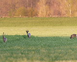 Young roe buck in meadow during evening. - 264545342