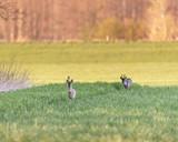 Two roe deer in meadow during evening. - 264545344