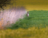 Roe deer near tall reed in meadow during sunset. - 264545345