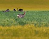 Grazing roe deer in meadow in evening. - 264545347