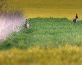 Roe deer near tall reed in meadow during sunset. - 264545354