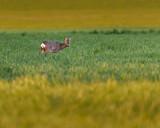 Young roe deer feeding in meadow at dusk. - 264545358