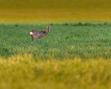 Young roe deer feeding in meadow at dusk. - 264545359