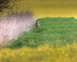 Roe deer near reed in meadow at dusk. - 264545361
