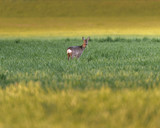 Young roe deer feeding in meadow at dusk. - 264545362
