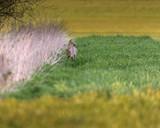 Roe deer near reed in meadow at dusk. - 264545363