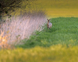 Roe deer near reed in meadow at dusk. - 264545364