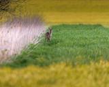 Roe deer near reed in meadow at dusk. - 264545372