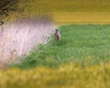 Roe deer near reed in meadow at dusk. - 264545382