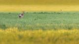 Single roe deer in meadow at dusk. - 264545386