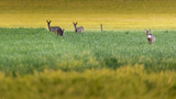 Four roe deer in meadow at dusk. - 264545387