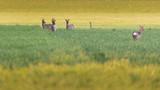 Four roe deer in meadow at dusk. - 264545388