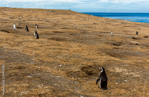 Colony of Magellanic penguins on Magdalena island in Chile