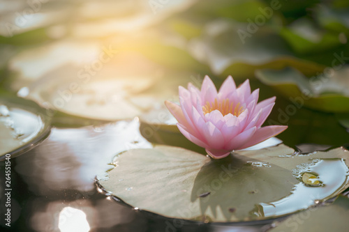 Photo Stands Lotus flower beautiful lotus flower on the water after rain in garden.