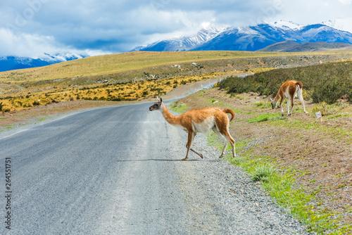Curious guanaco lama on the road