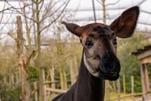 Curious Okapi, Zoo