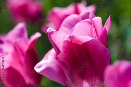 Poster Rose Beautiful bouquet of tulips nature background.