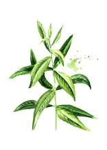 Lemon Verbena Sprig For Herb T...