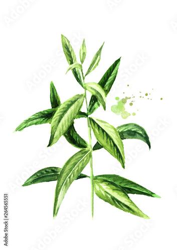 galazka-werbeny-cytrynowej-do-herbaty-ziolowej