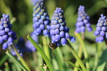 The Bee Pollinates The First Spring Blue Flowers