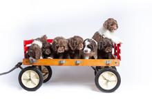 Australian Labradoodle Puppies...