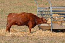 Full Body Side View Of Red Aberdeen Angus Cattle Eating Hay From Animal Feeder