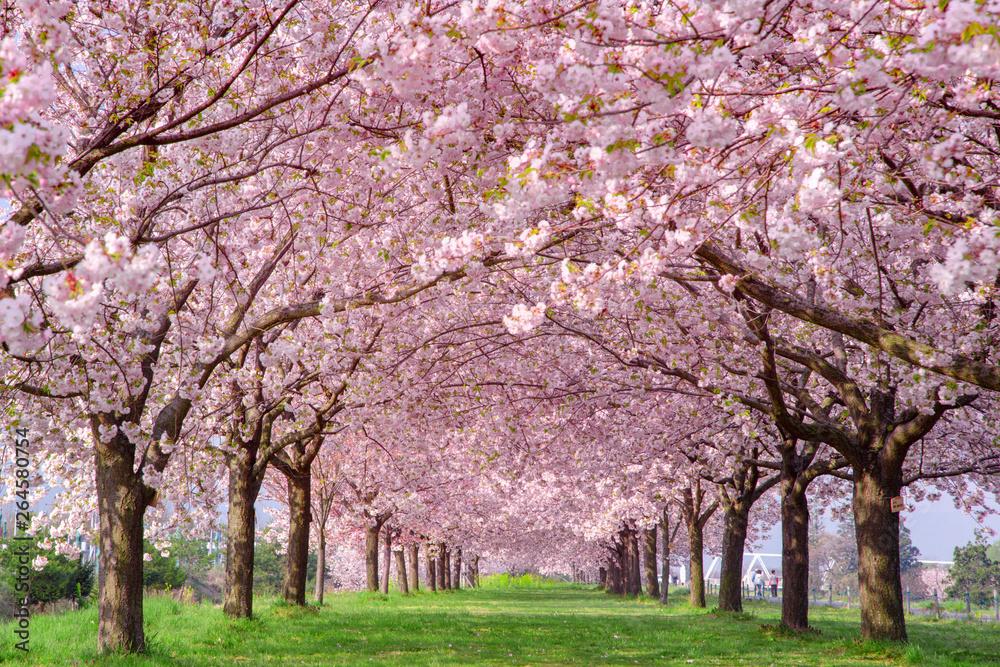 Fototapety, obrazy: 桜の並木 千曲川河川公園・長野県小布施町