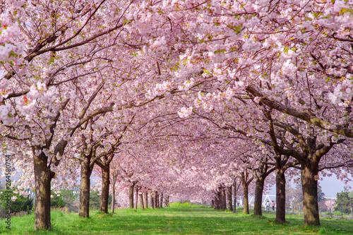 桜の並木 千曲川河川公園・長野県小布施町 фототапет