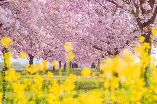 Fotografie, Obraz  桜の並木と菜の花 千曲川河川公園・長野県小布施町