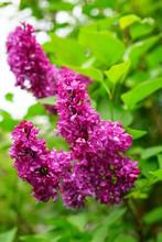 Purple Flower Clusters Of Fragrant Lilac (syringa)