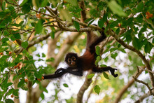 Curious Baby Spider Monkey Watching Intently
