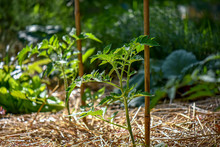 Young Tomato Plant With Bamboo Stake