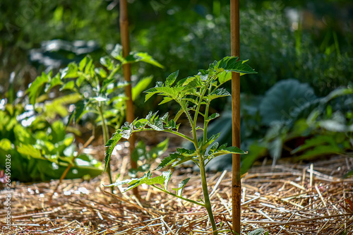 Young Tomato Plant with Bamboo Stake Fototapeta