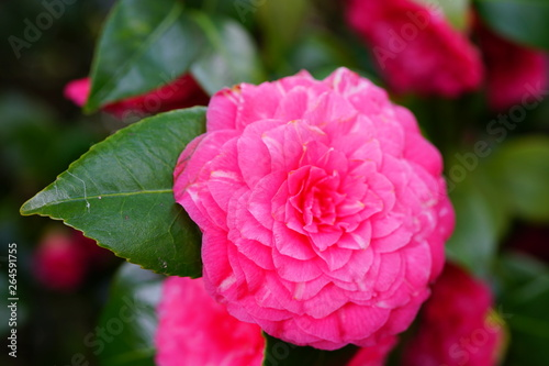 Aluminium Prints Pink A pink camelia japonica flower in bloom