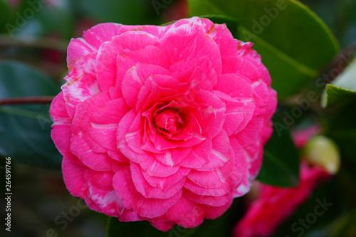 Poster Rose A pink camelia japonica flower in bloom