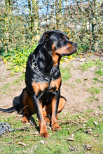 Portrait Of Sitting Young Rottweiler With Head Turned Away