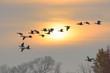 Greylag geese at sunrise, Germany, Europe