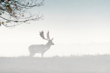 Fallow Deer (Cervus Dama) On M...
