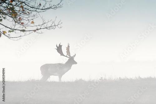 Poster Deer Fallow deer (Cervus dama) on misty morning, Germany, Europe