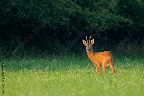 Deurstickers Ree Western roe deer (Capreolus capreolus) in summer, Germany, Europe