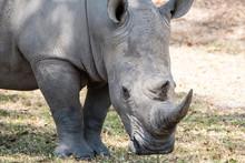 Grote Zwarte Neushoorn Op De Savanne Van Zuid Africa